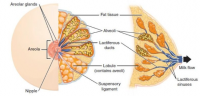 anatomy of human breast