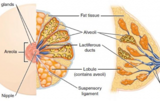 anatomy of human breast